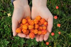 Cloudberries. would you look that beauty.