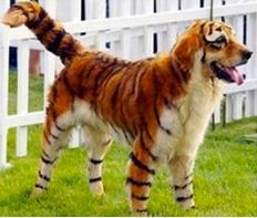 A new trend has EXPLODED in China 's upper class where people are transforming their pets into miniature versions of animals or just dyeing them crazy colors but Pandas seem to be a big hit and obviously their favorite. It's become a huge industry and people are spending THOUSANDS on professional hair dyes, salon cuts, accessories, you name it!