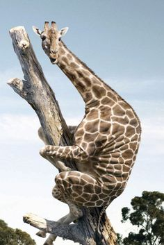freaked out giraffe!