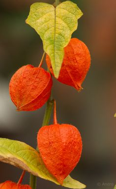 """500px / Photo """"**"""" by Andro Loria. Wish I could remember the name of these seed pods. I think it may be, """"Lanterns."""""""