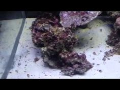 We are cycling our 6ft Cade reef tank with live rock