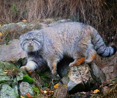 """Pallas cat, also known as """"the cat that time forgot"""" and """"the cat with the most facial expressions""""."""