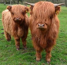 Scottish Highland Cow - Unruly Mop Bovine | Animal Pictures and ...