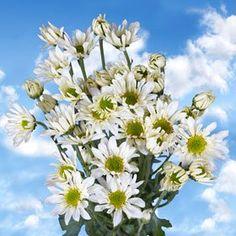 Gorgeous White Chrysanthemum Daisy Flowers | Pom Poms White Daisy 144 Flowers - http://yourflowers.us/gorgeous-white-chrysanthemum-daisy-flowers-pom-poms-white-daisy-144-flowers/
