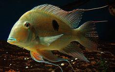 Geophagus Surinamensis | Flickr - Photo Sharing!
