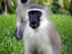 Natal Monkeys