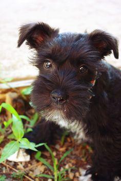puppy. scotty.