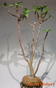 Dorstenia zancibarica Cactus Gallery