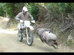 This dirt biker faces off with a wild ram... *spoilers* the ram wins  After scrolling through this guy's Youtube videos, we've determined that this is in fact a wild ram. At first, we were kind of confused as to how it had a GoPro on its back if it is indeed a wild animal, but apparently