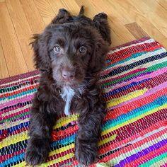 #miniaturelabradoodle hashtag on Instagram • Photos and Videos Miniature Labradoodle, Tennessee, Miniatures, Photo And Video, Videos, Dogs, Photos, Animals, Instagram
