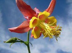 Columbine flower - How to grow & care Shade Perennials, Flowers Perennials, Planting Flowers, Shade Flowers, Yellow Flowers, Deer Resistant Flowers, Columbine Flower, Wildflower Seeds, Botanical Art
