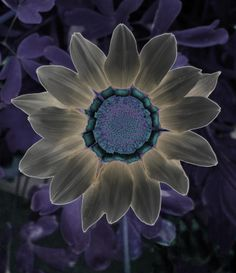 xray art | ... Xray Sunflower In Purple And Tan Fine Art Prints and Posters for Sale