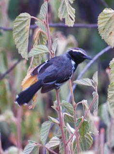 formigueiro-de-barriga-preta (Formicivora melanogaster) por Paulo De Tarso | Wiki Aves - A Enciclopédia das Aves do Brasil