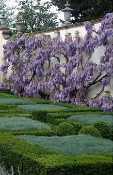 beautiful but apparently wisteria will destroy/invade. so keep to tree form or place on iron structures Garden Landscape Design, Garden Landscaping, Formal Gardens, Outdoor Gardens, Build A Better World, My Secret Garden, Worlds Of Fun, Dream Garden, Hedges