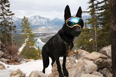 Rex Specs are protective eyewear for the active dog. They are stable and secure while still allowing for full jaw motion and field of view. Rex Specs protect your dogs eyes from debris, environmental