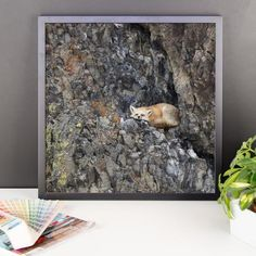 Framed photo paper poster with adorable red fox on the rocks.