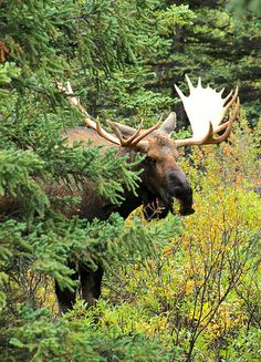 denali bull moose | animal + wildlife photography