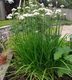 How grow and eat Asian/Chinese chives Chives Plant, Garlic Chives, Grow Garlic, Chinese Garlic, Permaculture, Herb Garden, White Flowers, Gardening Tips, Perennials