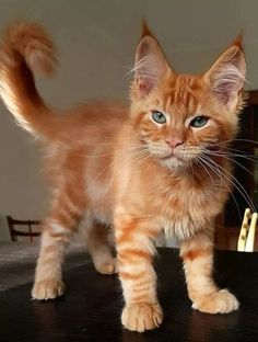 Interested in owning a Maine Coon cat and want to know more about them? The Maine Coon kitten adoption will Pretty Cats, Beautiful Cats, Animals Beautiful, Pretty Kitty, Beautiful Pictures, Gatos Maine Coon, Maine Coon Kittens, Cute Cats And Kittens, Kittens Cutest