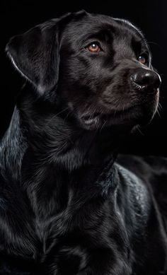 Logan Harrington's dog, Liberty (a girl) A black Labrador Retriever