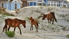 What a wonderful Spring surprise! Babies and were spotted on the beach yesterday during a tour in Corolla bringing the total to 5 foals born so far in Roanoke Island, Ocracoke Island, Corolla Outer Banks, New Corolla, Bodie Island Lighthouse, Outer Banks Vacation, Wild Horses, Travel List, Great Places