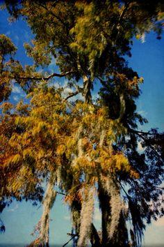 Atchafalaya Basin, Louisiana #swamp #cyprus #cyprustrees #trees #spanishmoss #moss