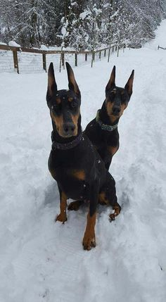 The Doberman Pinscher is among the most popular breed of dogs in the world. Known for its intelligence and loyalty, the Pinscher is both a police- favorite Doberman Puppies, Doberman Pinscher Dog, Doberman Love, Blue Doberman, I Love Dogs, Cute Dogs, Black And Tan Terrier, Canis Lupus, Akita