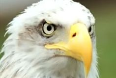 Essay bald eagle