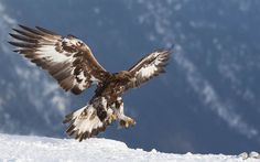 Scarica sfondi uccelli rapaci, l'aquila reale, Inverno, Eagle, Stati Uniti