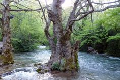 Naousa, Agios Nikolaos Natural Park with centenarian trees Greek Flowers, Seasons In The Sun, Greek Blue, Forest Mountain, Natural Park, Tree Forest, Flowering Trees, Forests, Zen