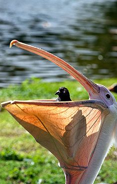 Pelican and Friend...