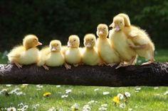 duck, duck...DUCK!
