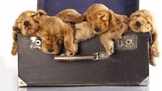 Suitcase spaniels sleeping, puppies.  [spam check ok ;) Mo]