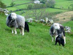 Elaine Lovegreen saw these gorgeous Herdwicks out on the fells.