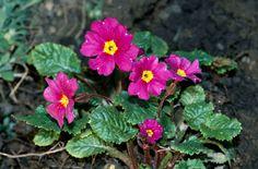 RHS Plant Selector Primula 'Wanda' (Pr/Prim) AGM / RHS Gardening