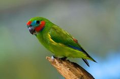 DOUBLE EYED FIG PARROT endangered lives north-east Australia  From Wikipedia