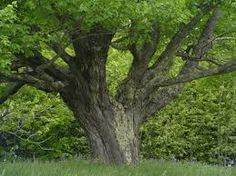 Image result for trees with big roots in canada
