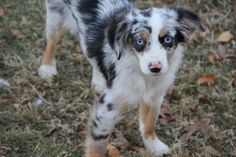 Image result for RED MERLE