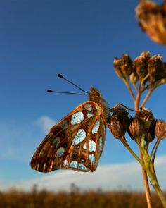 Rare butterfly: Queen of Spain Fritillary (Photo: Neil Hulme)