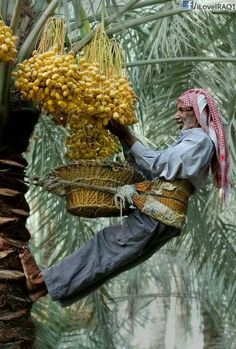 Harvesting dates from date palm trees Fruit Plants, Fruit Garden, Garden Trees, Fruit Trees, Palm Trees, Exotic Fruit, Exotic Plants, Health Benefits Of Dates, Fruit Photography