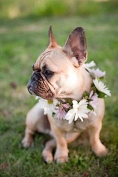 French Bulldog with a floral garland #frenchbulldog #frenchie
