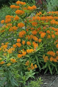 Butterfly weed - the bright orange would really complement the purples and blues I plan on having in my garden.
