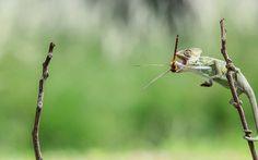 Un camaleón captura una libélula con su extraordinaria lengua (Tanto Yensen, 2016)