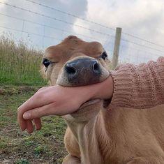 Cute Baby Cow, Baby Cows, Cute Cows, Fluffy Cows, Fluffy Animals, Animals And Pets, Strange Animals, Nature Animals, Cute Little Animals