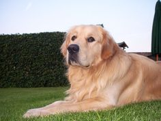 Dog: Golden retriever