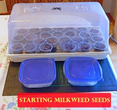 Start Milkweed Seeds Indoors for a huge head start on the growing season and returning monarch butterflies. Add heat for even faster germination within the first week. butterfly food Starting Milkweed Seeds Indoors- Part 2