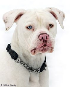 Betty - American Bulldog// always wanted a white dog with one blue and one brown eye!