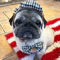 All senior gents should have a bow tie and a flat cap ❤️ Barrie has so much style it's untrue , he's a true country gentleman. He has many health issues but couldn't be happier, infact he has us all running around after him and I wouldn't change it for the world I was asked to take him on 18 months ago now and he just goes from strength to strength love you pal and will always always care for you . You have a forever home with me , my beautiful boy , just wish we'd met sooner. ❤️ #pug #pugs…