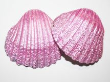 These shining cockle shells are great for decorating and crafting. They bring magic to your fairy garden or terrarium kit. These shells are painted with shimmering pink paint and they are glossed for durability. They measure 5 x 5 cm / x inches. Mermaid Crafts, Mermaid Art, Seashell Painting, Cockles, Garden Items, Pink Art, Shell Crafts, Arts And Crafts Projects, Terrarium