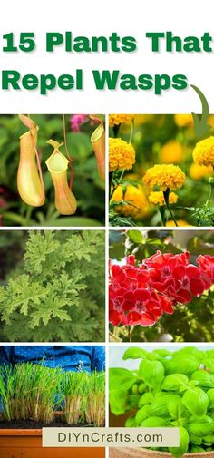 Natural Wasp Repellent, Clove Plant, Plants That Repel Spiders, Getting Rid Of Bees, Insect Repellent Plants, Cucumber Plant, Growing Gardens, Pitcher Plant, Colorful Plants